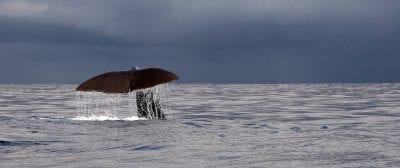 Whale diving in the waters near Greenland