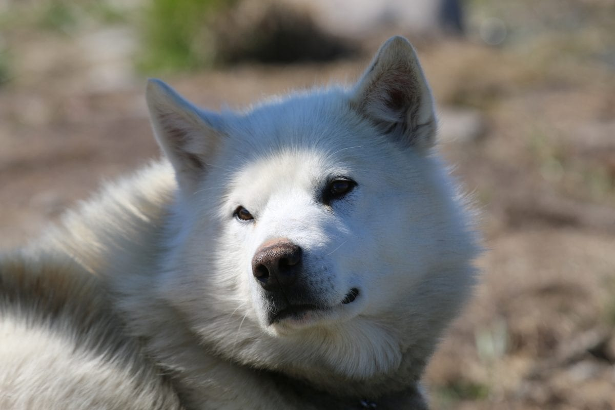 Sled dog near Ilimanaq in the summer months