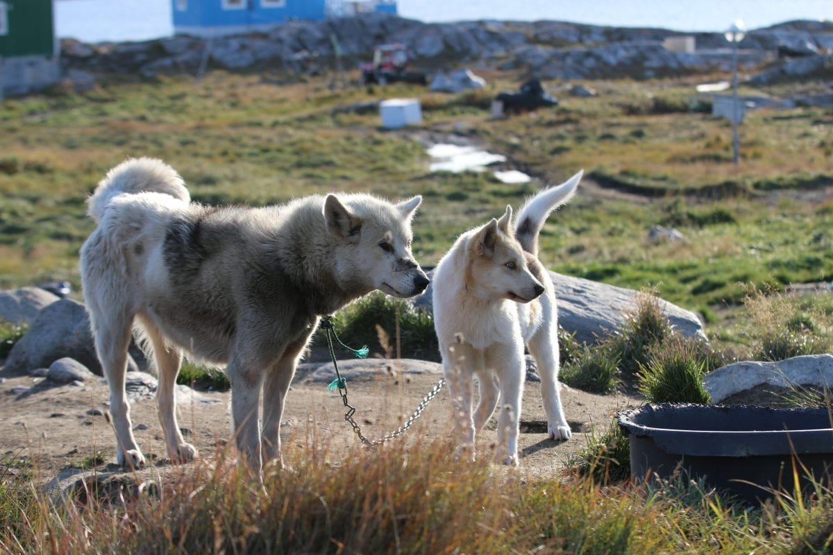 Two sled dogs enjoying the summer in Ilulissat